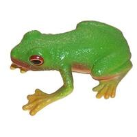 Science & Nature - Red Eyed Green Tree Frog